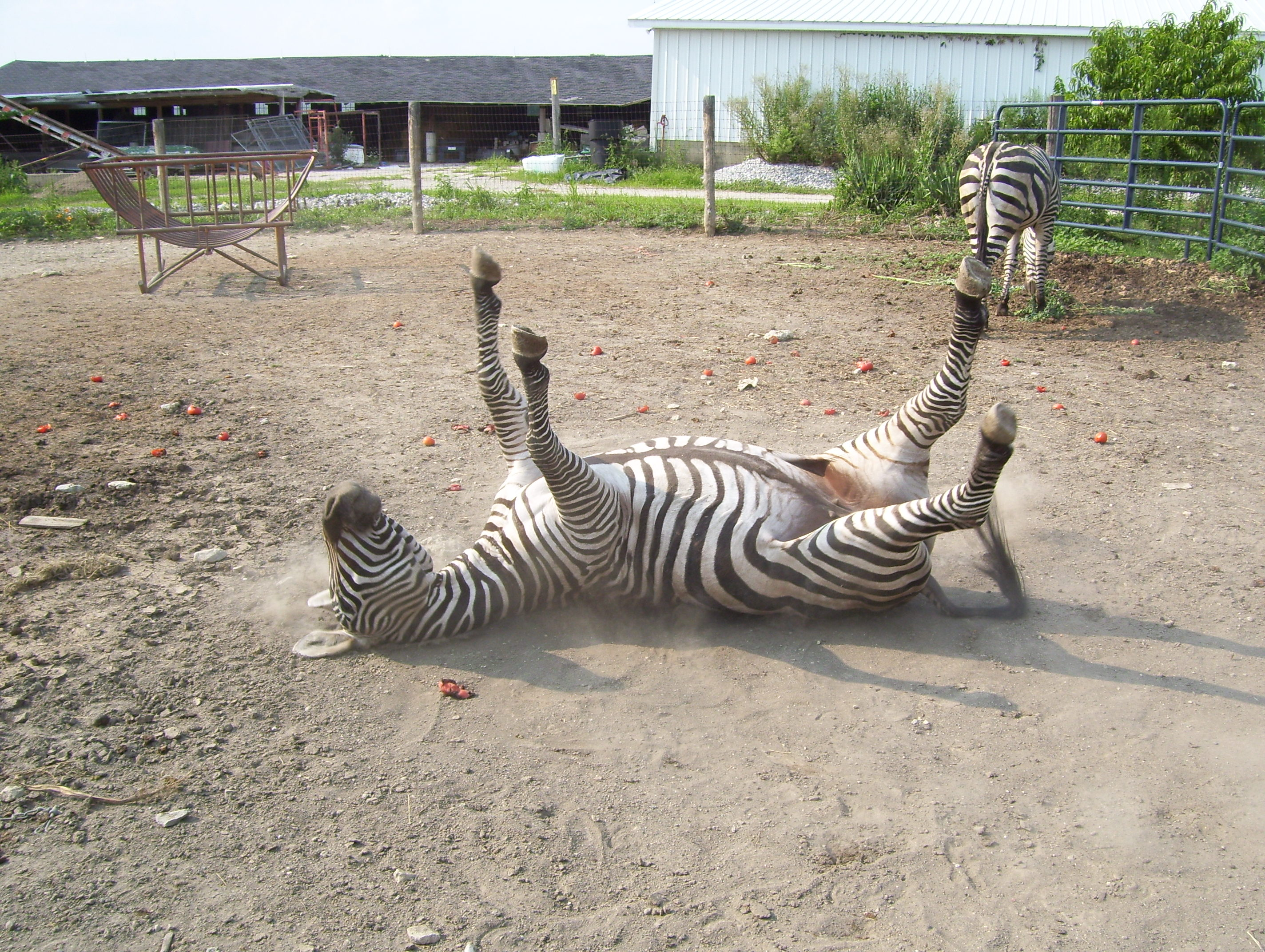 Pictures Of Zebras Mating On Animal Picture Society